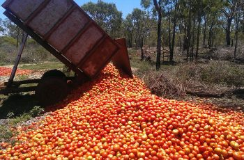 Tomato waste at rotten levels: USC study