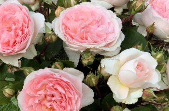 Treloar Roses – New Release Garden Roses For 2018