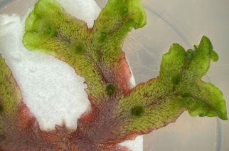 Liverworts would rather be 'red than dead'