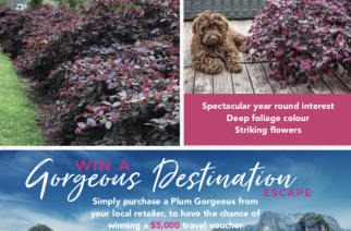 PMA Loropetalum 'Plum Gorgeous' – Gorgeous Destination Competition