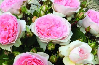 Treloar Potted Roses by mail order this Spring!