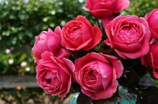 Treloar Roses 2019 New Releases