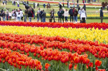 Spring into the fields at the 66th Tesselaar Tulip Festival, September 14 – October 13