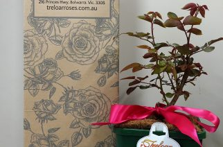 Treloar Roses shipping potted roses by mail order!