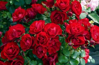 TRELOAR ROSES DOMINATE ROSE TRIAL GARDEN AWARDS!