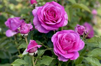 NEW RELEASE ROSES FROM TRELOAR ROSES