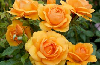 TRELOAR POTTED ROSES CAN BE PRE-ORDERED NOW