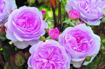 Australian Rose of the Year 2020- Olivia Rose Austin