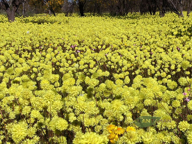 Cephalipterum drummondii Long bract yellow 20160823 NE Mingenew F EWS11 800W WM